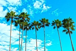 Tall palm trees with blue sky