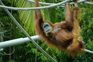 An orangutan hanging from a rope in a zoo.