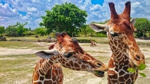 Picture of giraffes eating