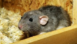 Rat is a reason to pest-proof your storage unit