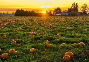 One of the many pumpkin patches in Miami.