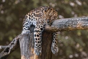 Picture of a jaguar sleeping