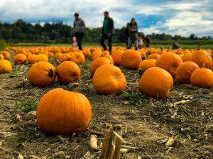A family walking through a pumpkin patch.
